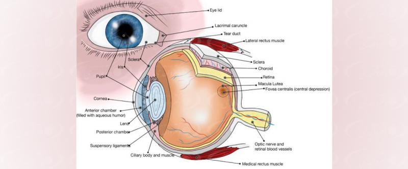 آناتومی چشم و ساختمان اصلی آن